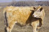 Ko på bete — Stockfoto