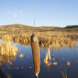 Isolated Cattail with Blurred Marsh — Stock Photo #8320680
