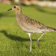 Pacific Golden Plover — Stock Photo #8615139