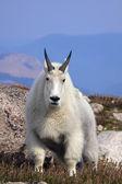 Kozy górskie — Zdjęcie stockowe
