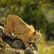 Bobcat on Rock - Photo