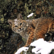 Stock Photo: Bobcat in winter