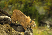 Bobcat on Rock — Stock Photo