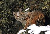Bobcat in winter — Stock Photo