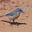 Stock Photo: Scrub jay