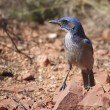 Scrub Jay in Rocks — Foto Stock #9099455