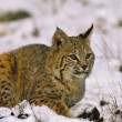 Bobcat in Snow — Stock Photo #9111981