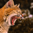 Bobcat Snarling — Stock Photo #9112047