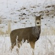 Mule Deer Doe in Snow — Stock Photo