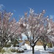 Snow Covering Blooming Fruit Trees - Stockfoto