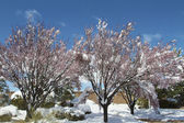 Snow Covering Blooming Fruit Trees — Stock Photo