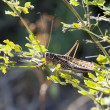 The big grasshopper (locust) sits on a green branch — Stock Photo #10018327