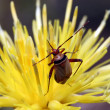Stock Photo: Bug in yellow flower. Macro