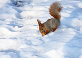 The squirrel on snow — Stockfoto