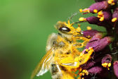 Bee in yellow pollen. Macroshooting — Stock Photo