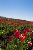 领域的红色郁金香 — Stock fotografie