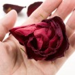 Dead rose — Stock Photo #10055161