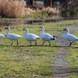 Stock Photo: Snow Goose