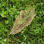 Leaf Vein — Stock Photo