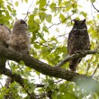 Great Horned Owl — Stock Photo #10666722