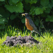 American Robin with Worm - Stock Photo