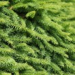 Pine tree — Stock Photo #8029467
