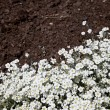 White flower and dirt — Stockfoto