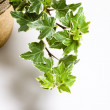 Stock Photo: Green Ivy