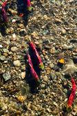 Salmon Run — Stock Photo