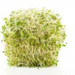 Stock Photo: AlfalfSprout