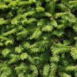 Pine tree — Stock Photo #8179865