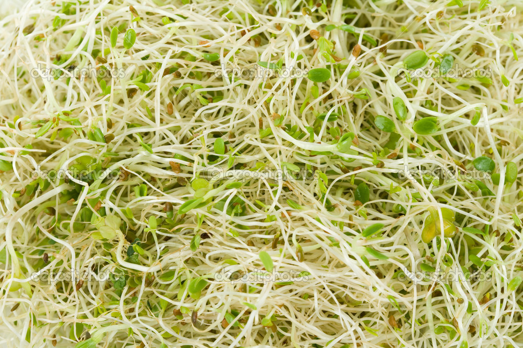Alfalfa Sprout close up shot  Stock Photo #8929399