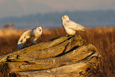 Snowy Owl — Photo