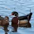 Wood Duck — Stock Photo #9287402