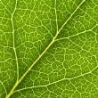 Leaf Vein — Stock Photo #9324003