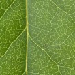 Leaf Vein — Stock Photo #9339985