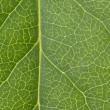 Постер, плакат: Leaf Vein
