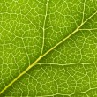Leaf Vein — Stock Photo #9524751