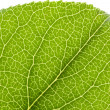Leaf Vein — Stock Photo #9651014