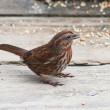 Song Sparrow — Stock Photo