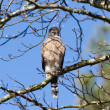 Cooper&#039;s hawk - Foto de Stock  