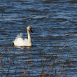 Trumpeter Swan — Stock Photo #9753650