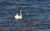 Cisne trompetero — Foto de Stock