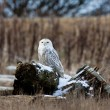 Snowy Owl - Photo