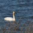 Trumpeter Swan — Stock Photo #9787213