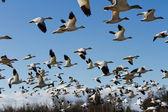 Snow Goose — Stock Photo