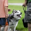 Petting Husky — Stock Photo #8339040