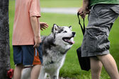 Petting a Husky — Stock Photo