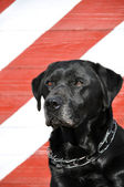 Old black Labrador — Foto de Stock