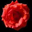 Royalty-Free Stock Photo: Red Rose on Black